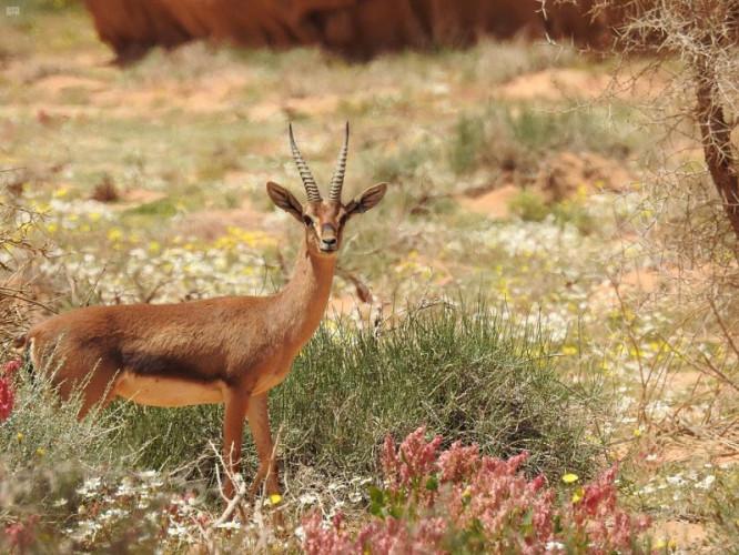 الهيئة الملكية لمحافظة العلا تشرف على عملية تطوير بيئي واسعة النطاق لإعادة التوازن الطبيعي في محمية شرعان